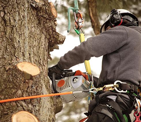 Arborxpert Tree & Shrub Care Inc. employee cutting a tree down