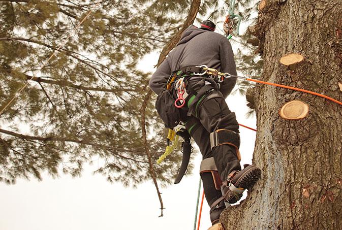 Arborxpert Tree & Shrub Care Inc. employee trimming a tree